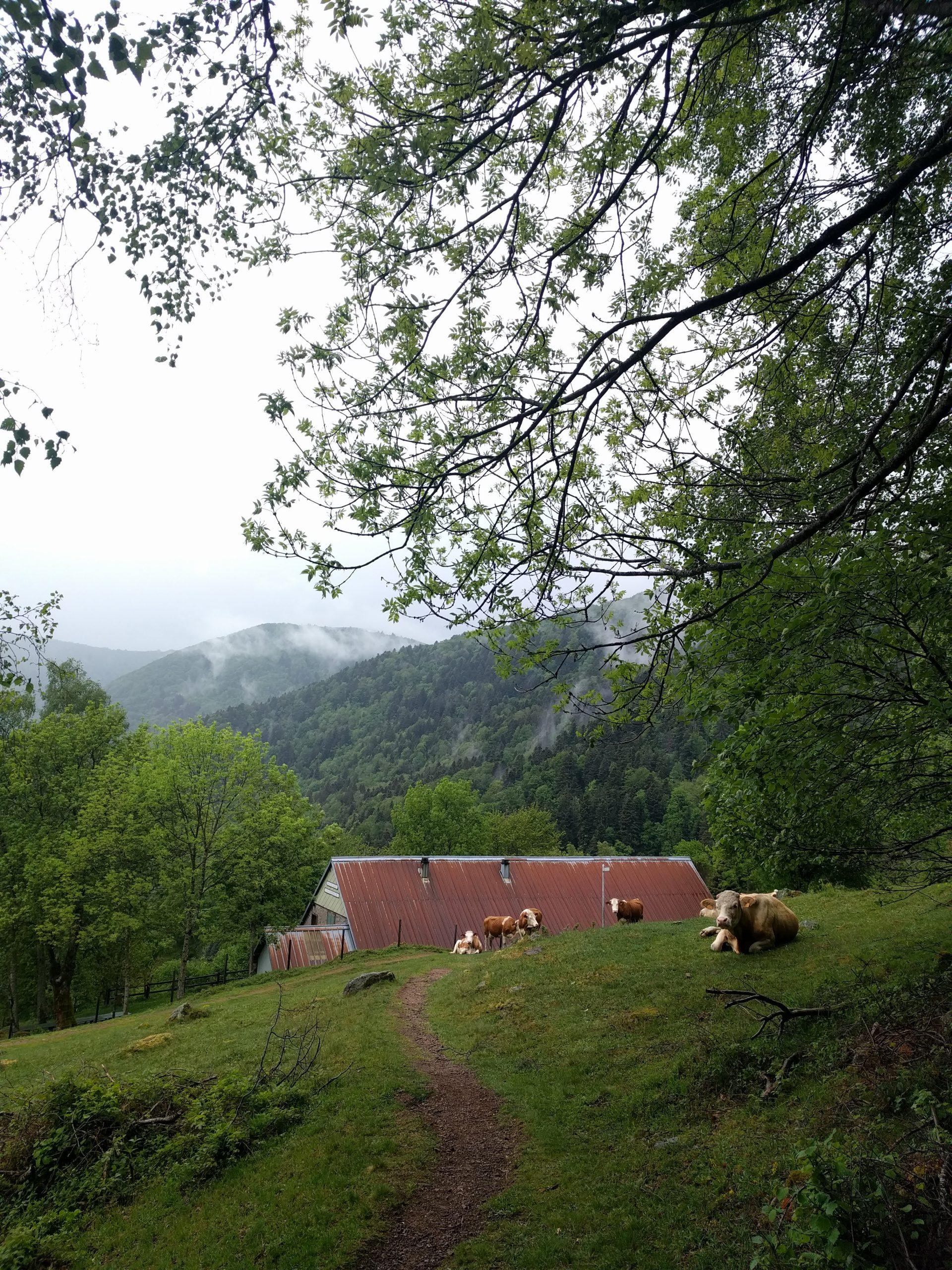 L'arrière du refuge d'Issenbach dans les Vosges et des vaches en pâturage