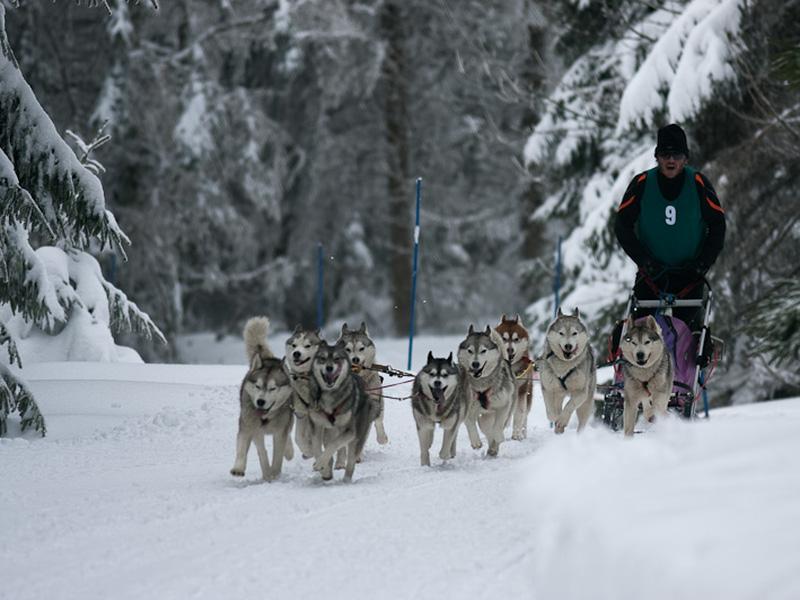 Un attelage de chiens de traineaux aux lac blanc dans les Vosges