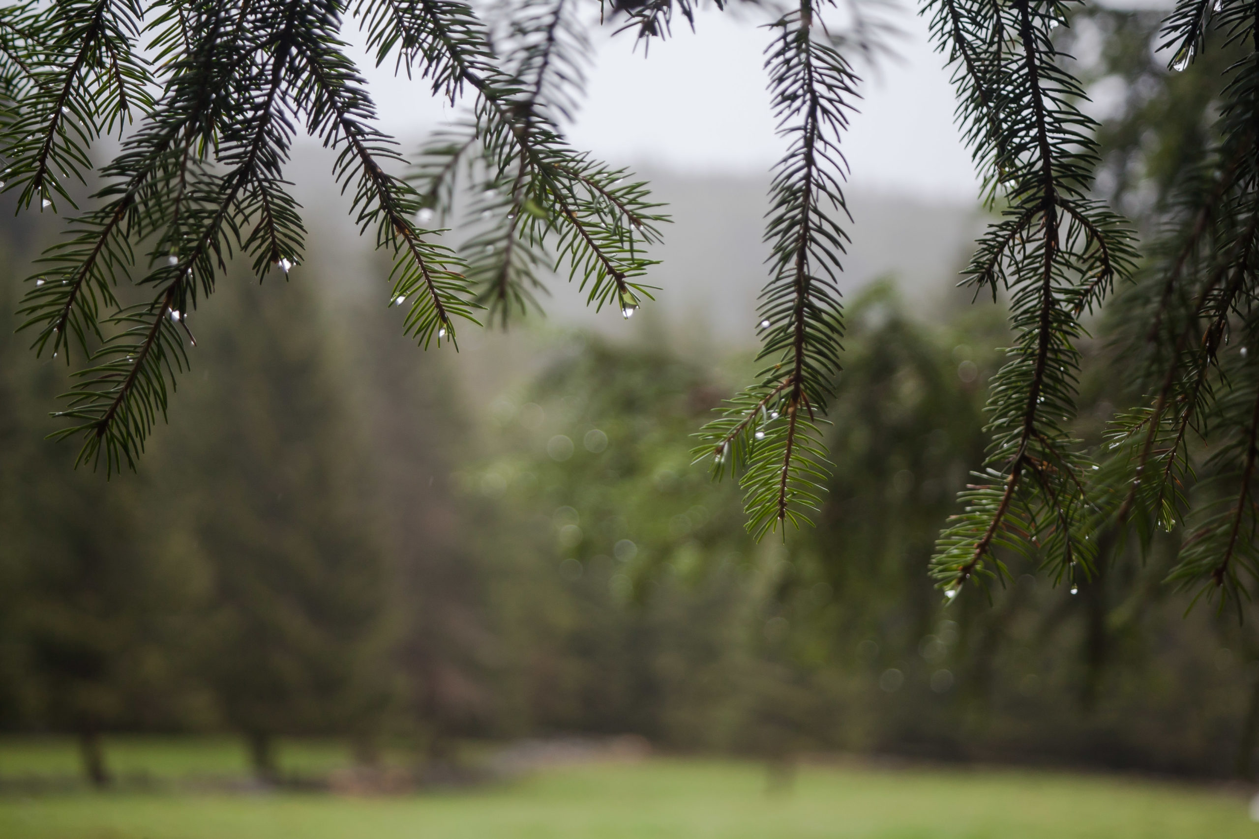 Une branche de sapin gorgée de l'humidité de la pluie dans le Massif des Vosges