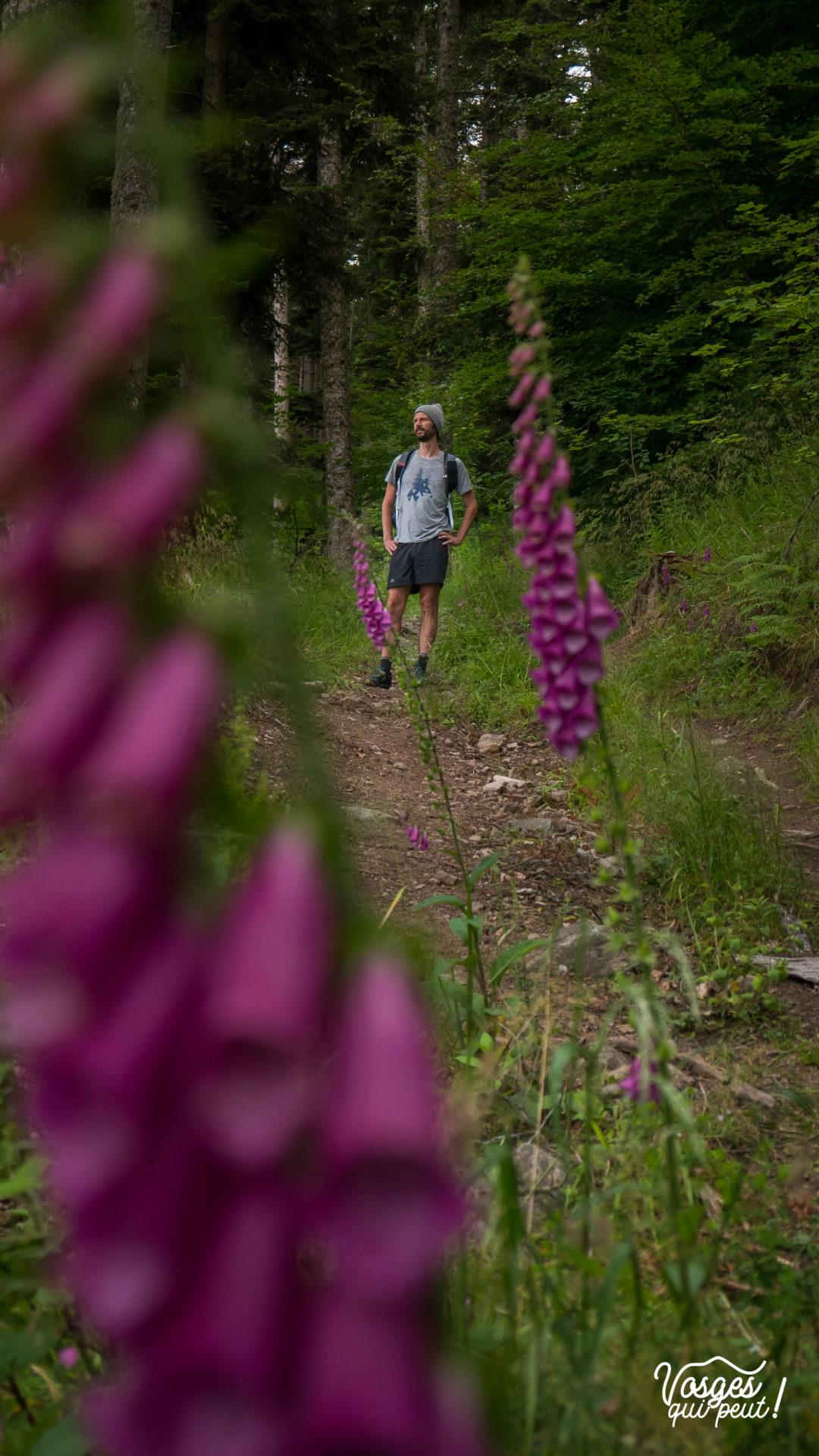 Fleur digitale des Vosges et un randonneur en arrière-plan