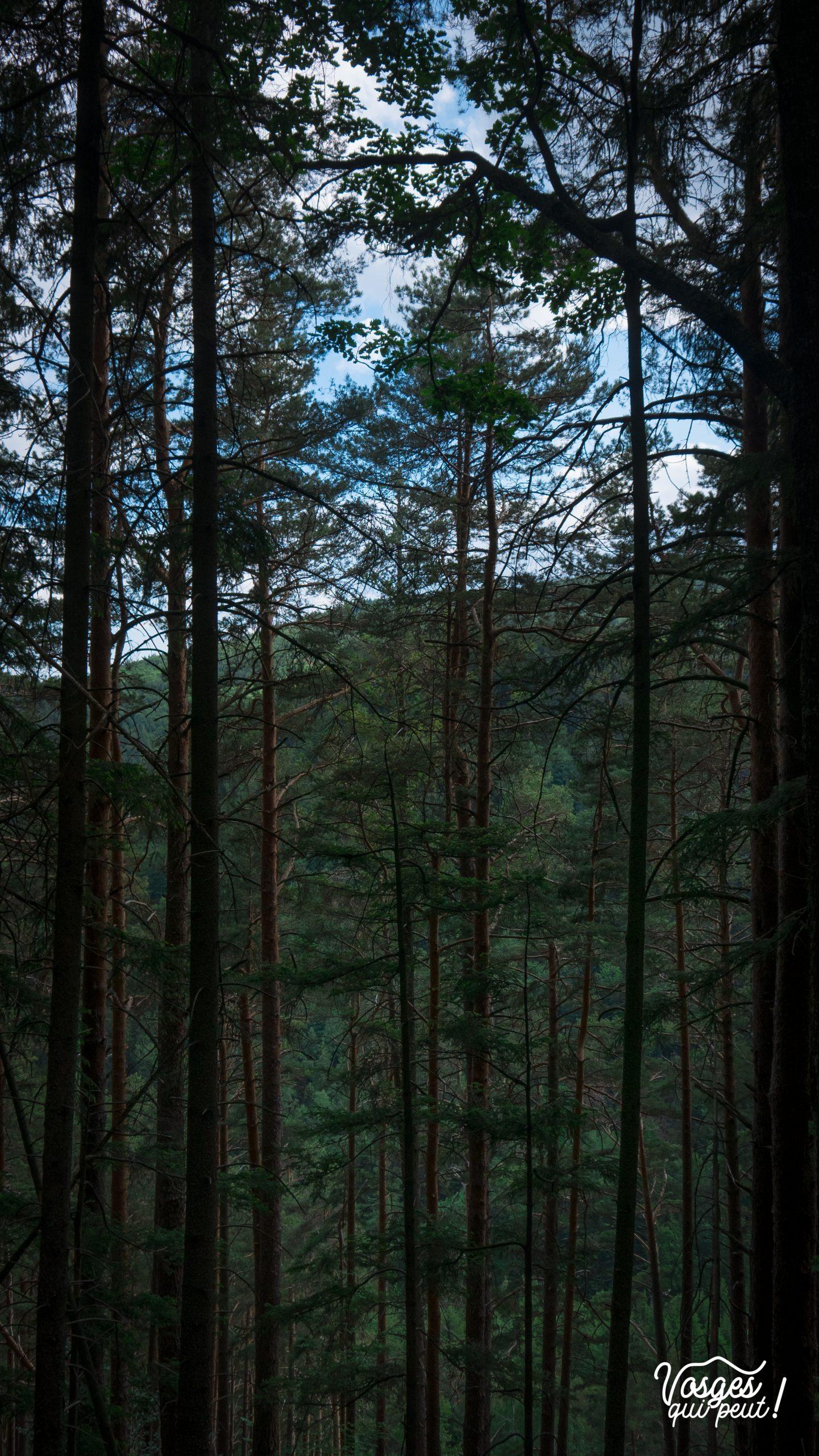 Les Vosges sont un massif forestier de moyenne montagne