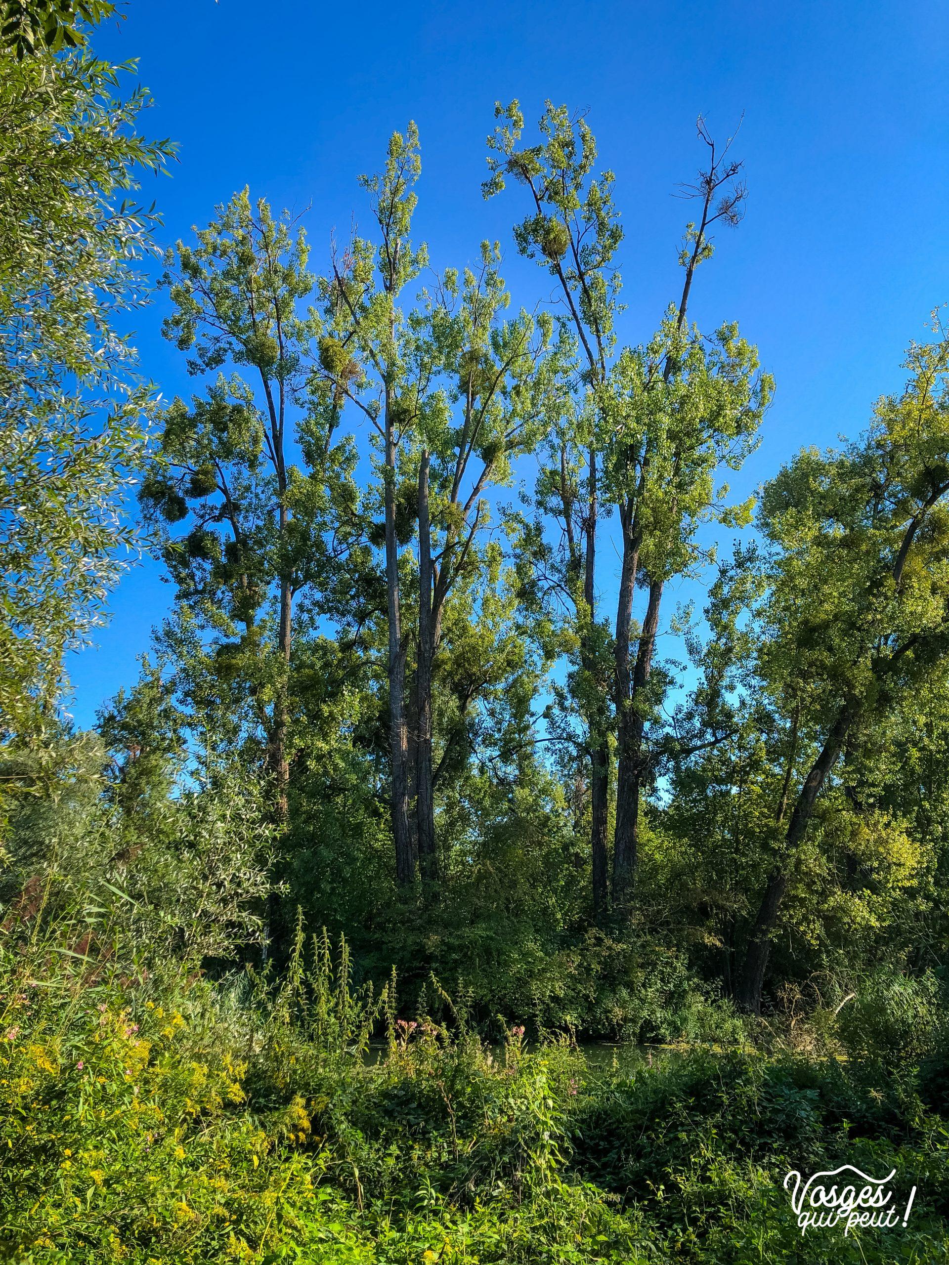 Des arbres sur l'île du Rohrschollen
