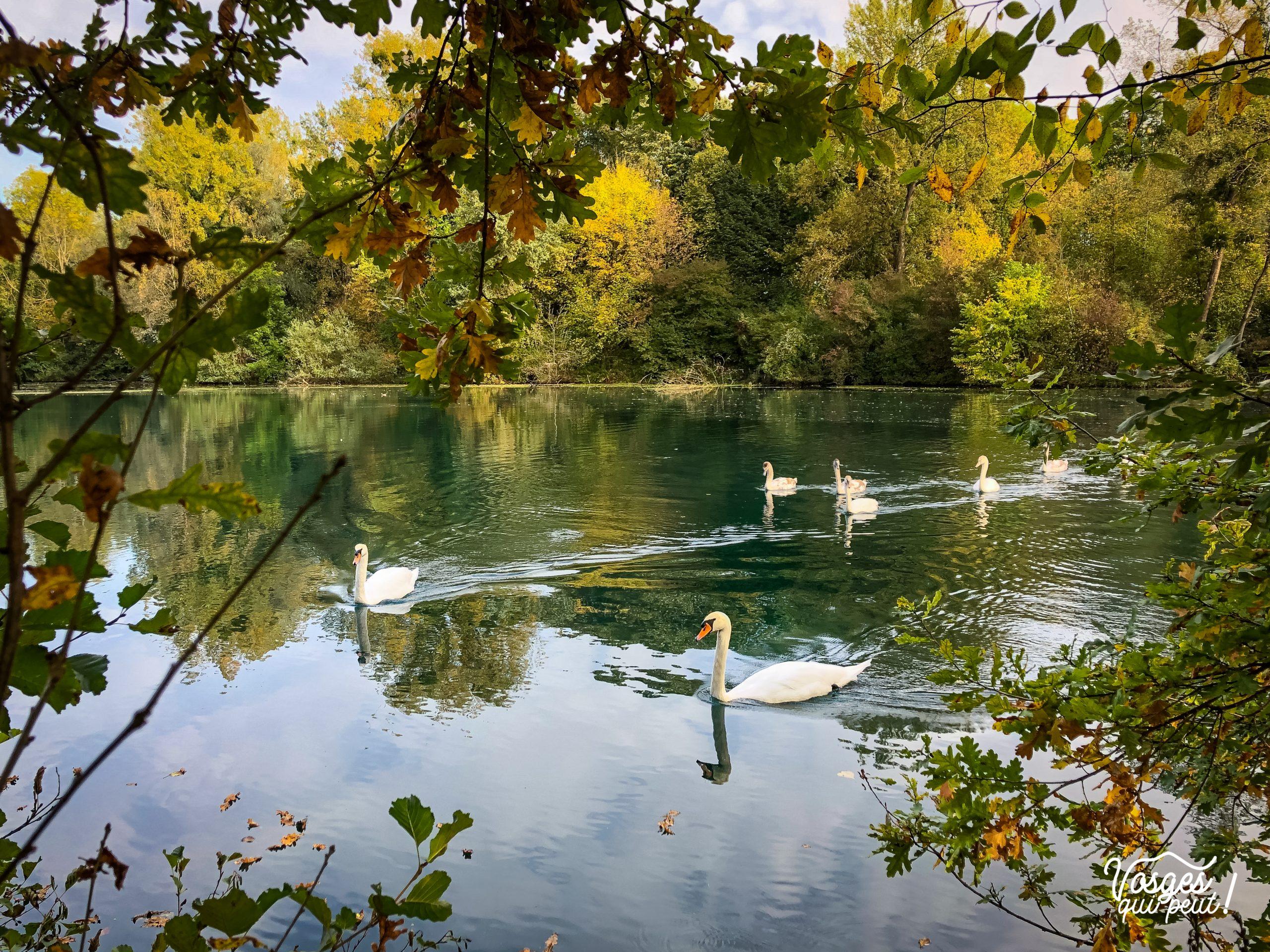 Des cygnes sur l'étang du Karpfenloch