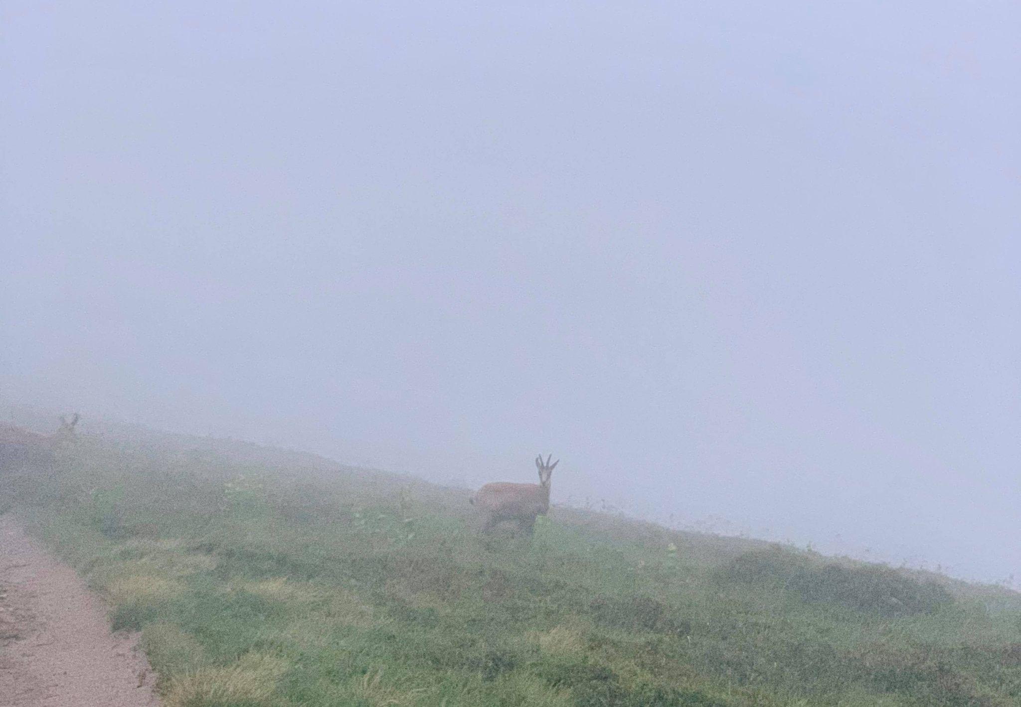 Un chamois dans la brume matinale au Hohneck pendant la Nuit des Refuges