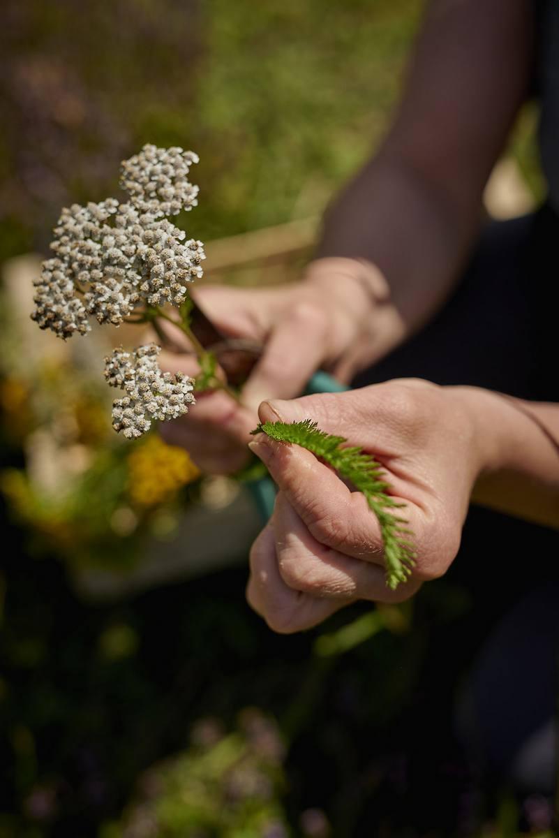 Une personne présente des plantes qu'elle a cueillies