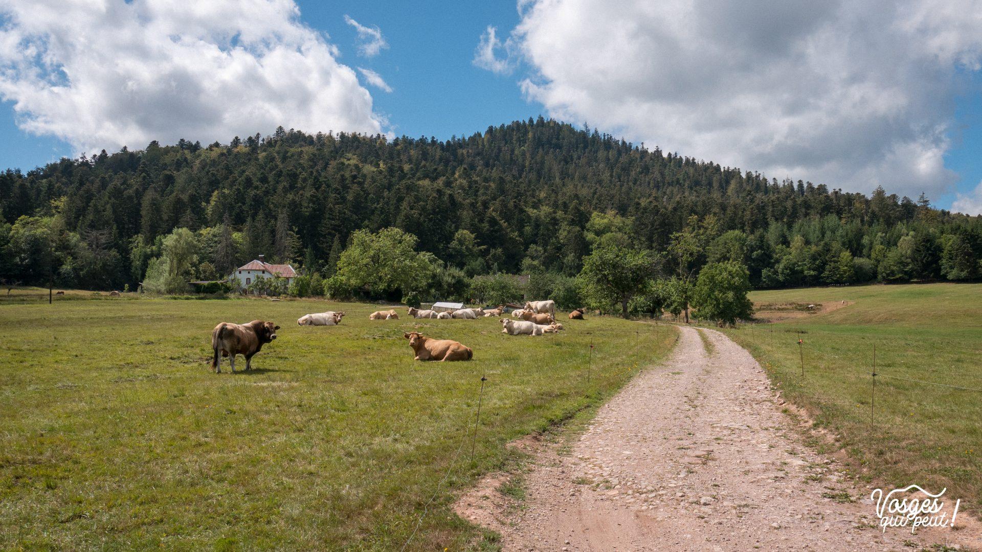 Un troupeau de vaches dans la clairière du Hang dans la vallée de la Bruche