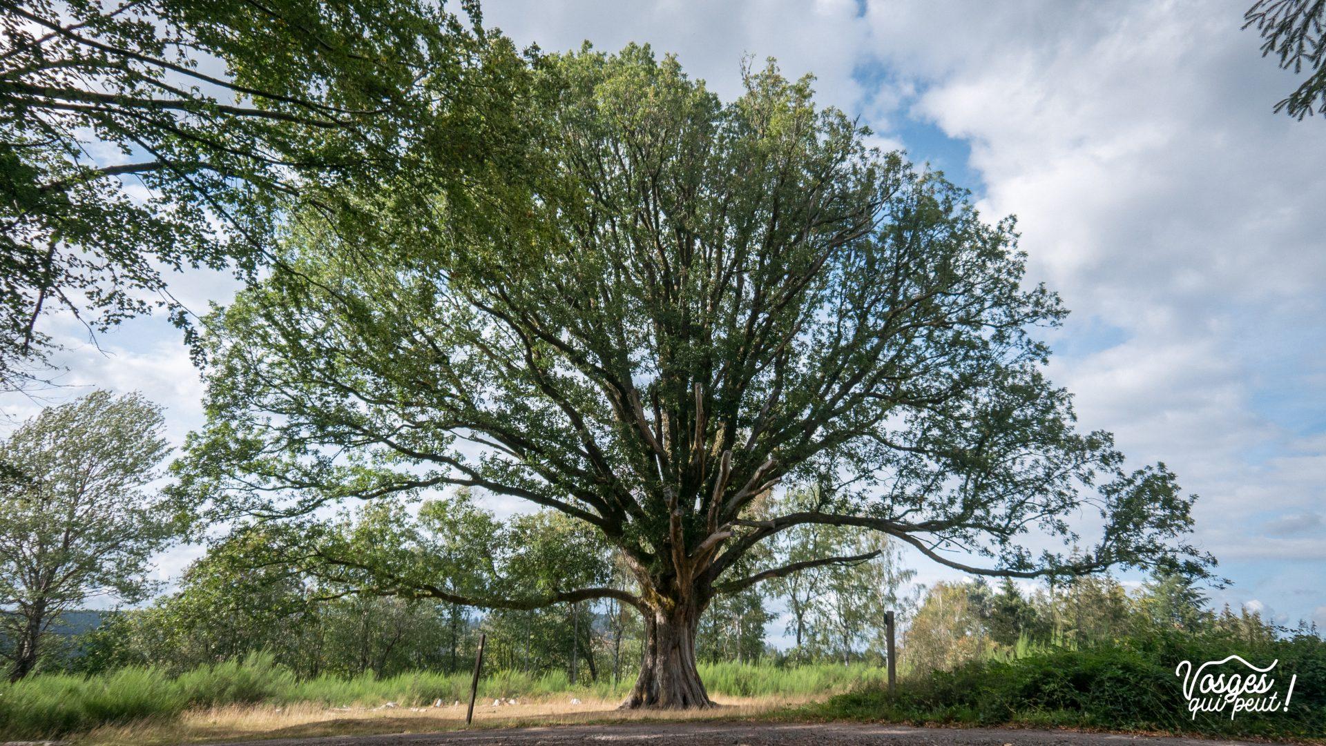 Le vieux chêne de Salm dans la vallée de la Bruche