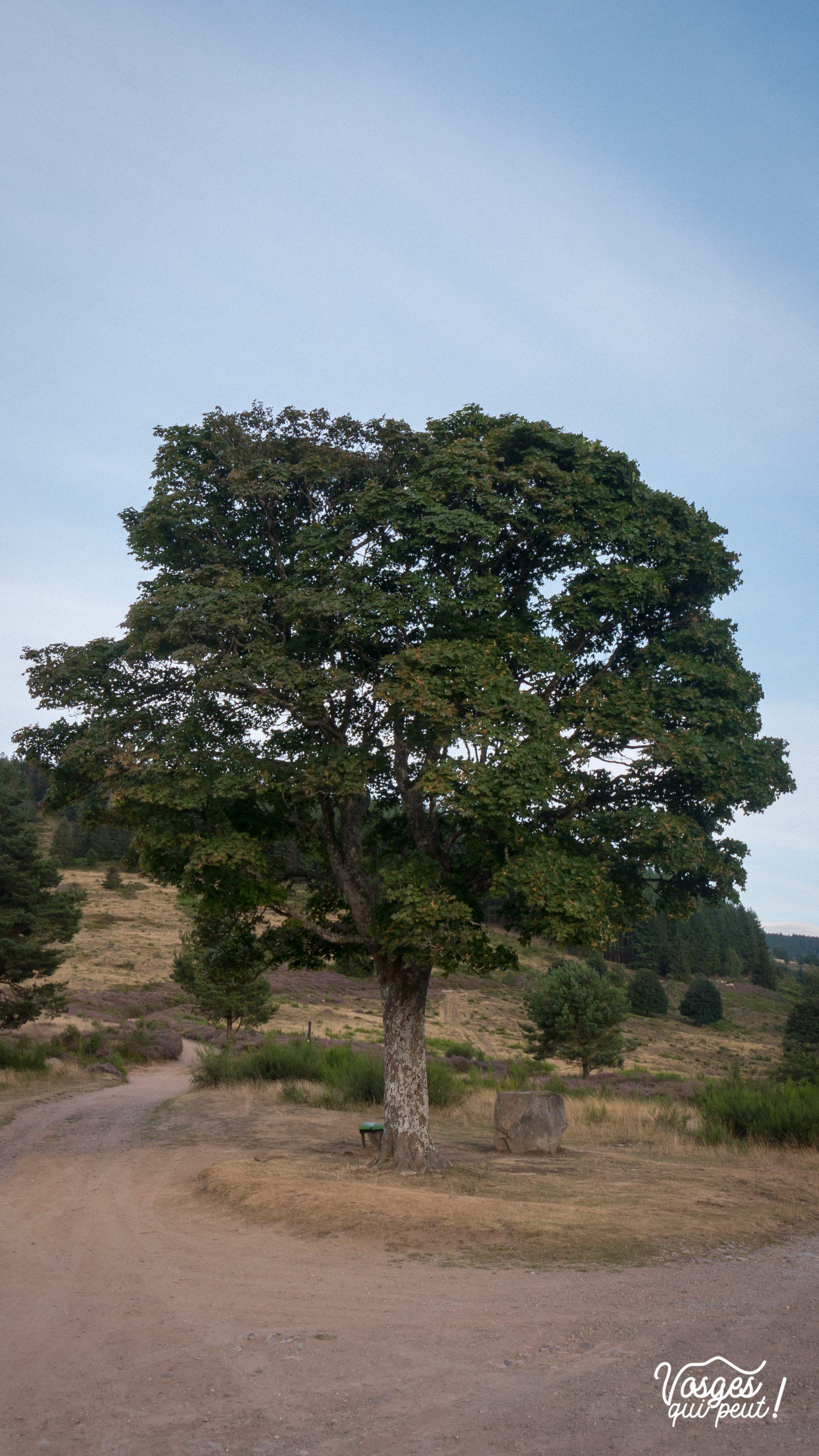L'arbre du col de la Perheux dans la vallée de la Bruche