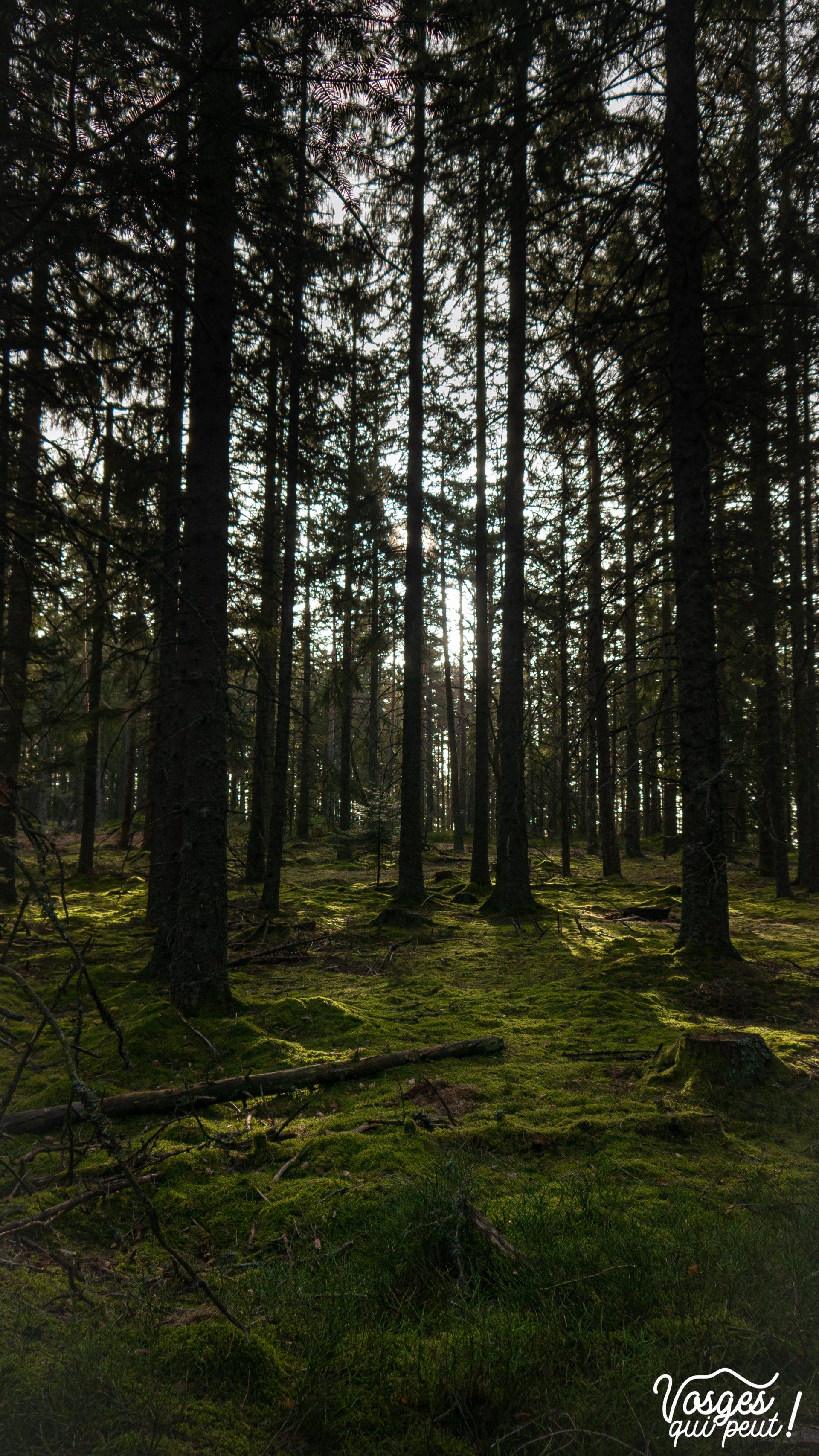 Forêt dans les Vosges autour du Linge